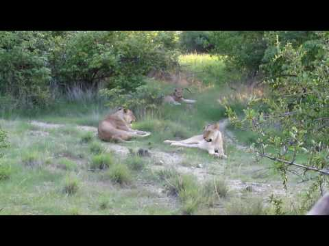 3 lions resting
