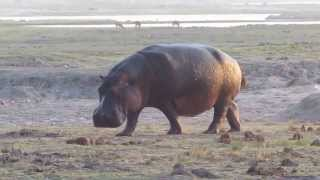 Watch a hippo fling his poo