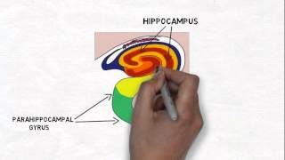 2-Minute Neuroscience: The Hippocampus