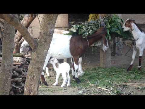 Chitwan-羔羊跪乳