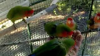 Agapornis Roseicollis-Voliera di Inseparabili(Parrots,Inseparable)