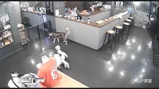 Terror, husky wolf, bite dead dog