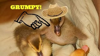 Funny baby duck!