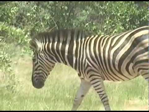 Hogan Cinema – South Africa – Zebra in road