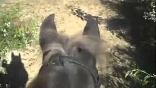 Take a Virtual Horseback Ride on a Rocky Mountain Horse