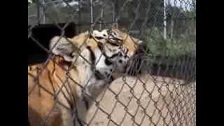 Tiger Chuffs