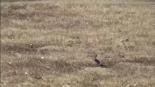 Caza de conejos (solo Headshots)