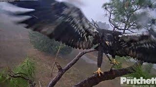 SWFL Eagles ~ E9 Dancing & Winging In The Rain 4.6.17