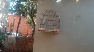 Hoje eu acordei com esse lindo passarinho cantando