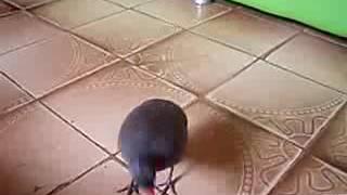 Nambu pé roxo canta na mão