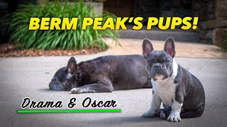 A day in the life of Drama & Oscar, Berm Peak's French Bulldogs