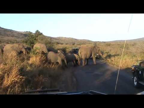 Olifanten oversteek Hluhluwe Imfolozi Park