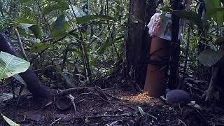 inhambuguaçu na ceva de milho