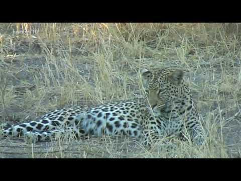 harufrei: Botswana – an African Leopard