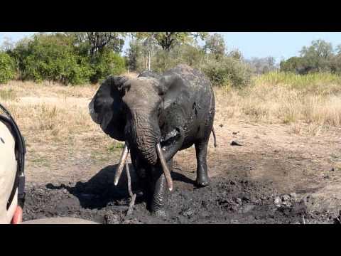 Old Male Elephant Sprays Himself With Mud – Mala Mala, South Africa