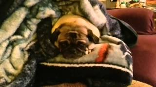 Izzy the Snuggle Pug