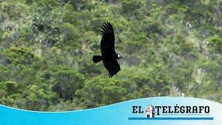 7 de julio, Día Nacional del Cóndor en Ecuador.