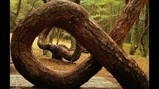 Poland's Mysterious 'Crooked Forest'