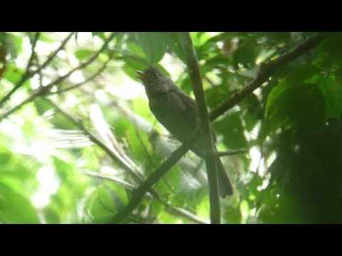 Screaming Piha (Lipaugus vociferans) in the Yasuni