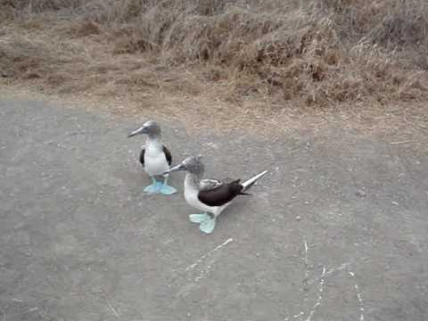 Blue Footed booby sounds and dances