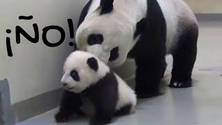 Papá Panda Manda a su Bebé Panda a Dormir