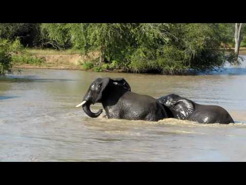 Elephants playing in water