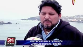 Identifican especie de tiburón encontrado en Punta Hermosa