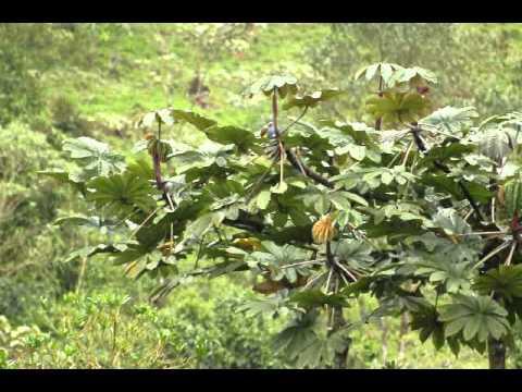 Plate-billed Mountain Toucan.AVI