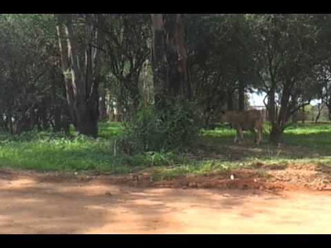 lion Park in South Africa.mp4