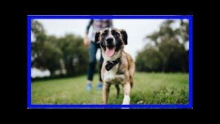 Kleinspitz – Anhänglicher Begleiter mit Wachhund-Charakter