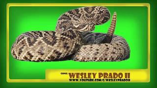 som de cobra cascavel - Rattlesnake sound