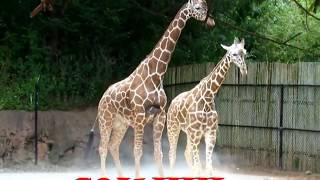 Rare video of  giraffe Mating and Breeding  | Giraffe Giving Birth width=