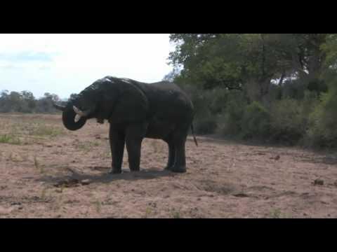 Angry Elephant near Kruger Nationalpark Shingwedzi