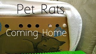 Bringing Home My New Pet Rats!