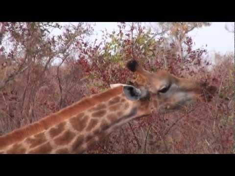 120827 Giraffe in Kruger National Park