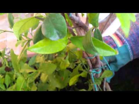 Come scegliere le piante sempreverdi per il terrazzo fai for Le piante sempreverdi