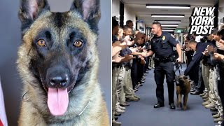 Retired police dog takes his final walk after 8 years on the force | New York Post