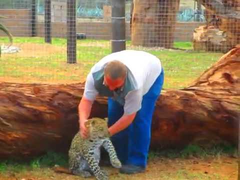 Leopard cub nips at trainer