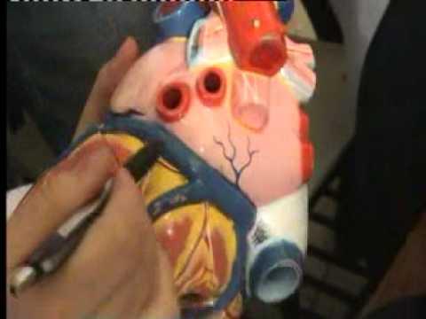 Kalp Anatomisi - 2