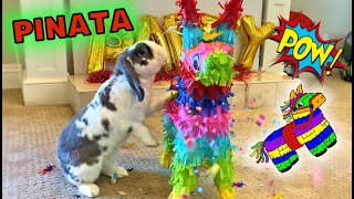 Rabbit Breaking Pinata For The First Time | Adorable | ASMR