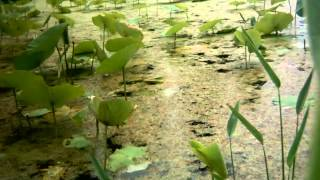 Timelapse of amazing lotus flowers in pond