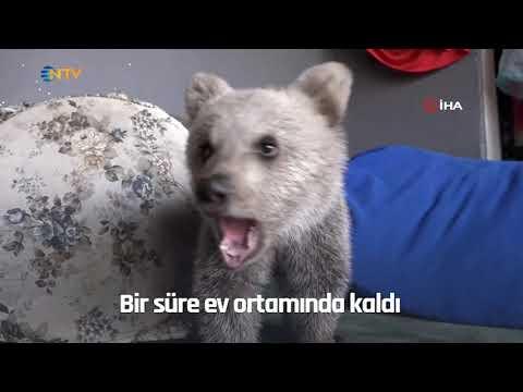 NTV   Ormandan yolunu kaybeden yavru ayı, vatandaşların evinde maskot oldu