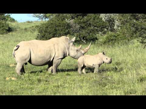 Hlosi : Young white rhino (2 months) playing…