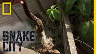 A Trespassing Constrictor | Snake City