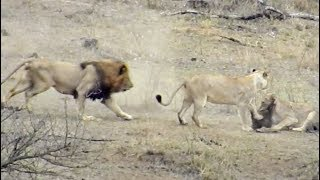 Male Lion Rescues Warthog From Other Lions