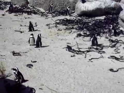 Penguins of South Africa
