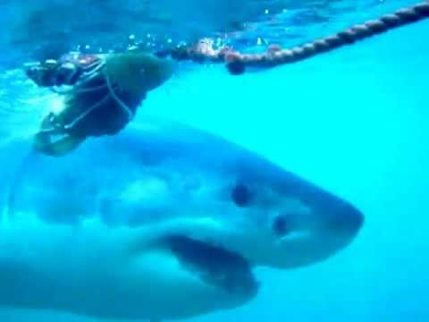 Diving with Atlantic great white sharks/Cape Town