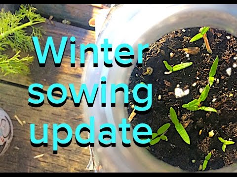 Winter Sowing Tomatoes Update