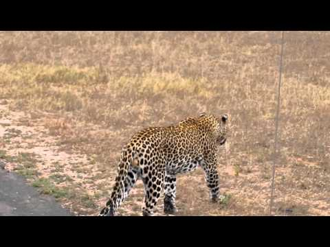 Singita Ebony Game Drive – Leopard 5