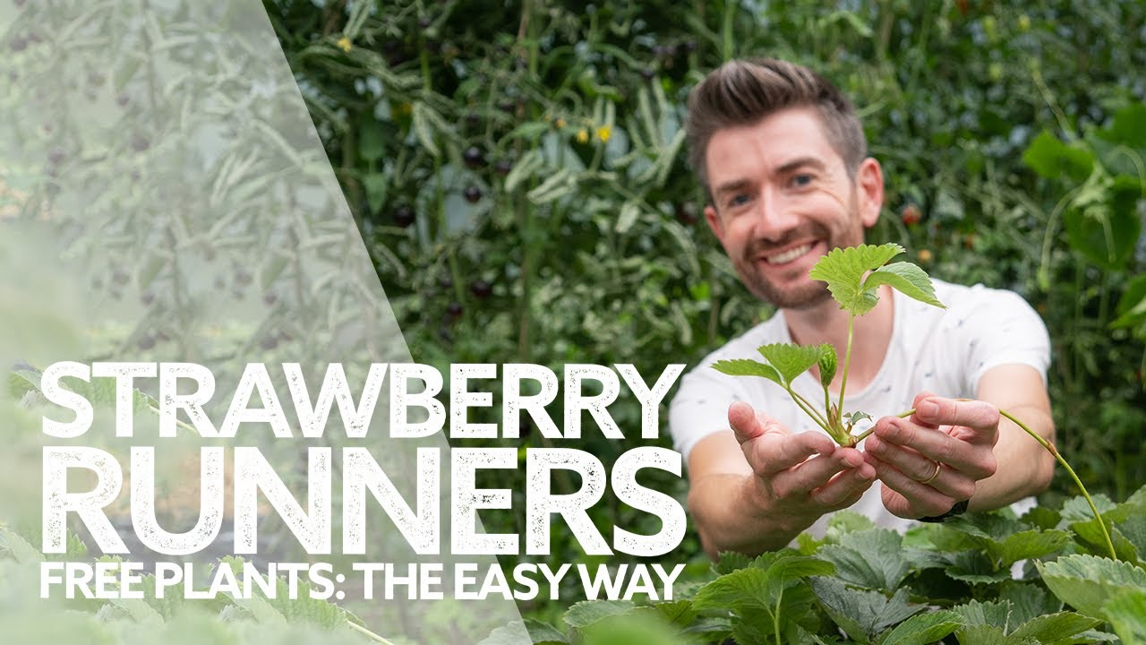 How to Grow Strawberry Runners | Free Strawberry Plants the Easy Way!